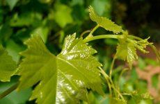 Засолка виноградных листьев