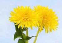 цветы одуванчики