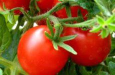Засолка острых помидор