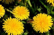 Ароматный мед из одуванчиков